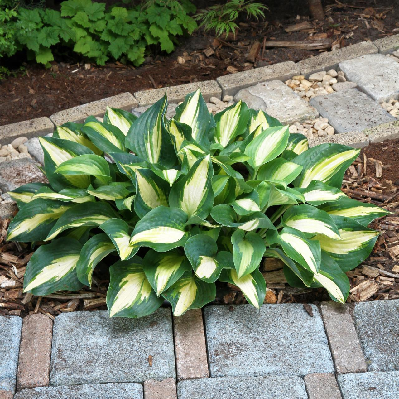 Hosta 'Chain Lightning' (32345)