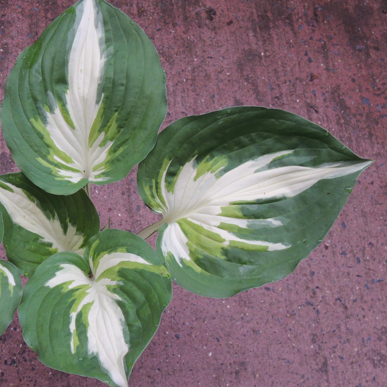 Hosta 'Christmas Island' plant