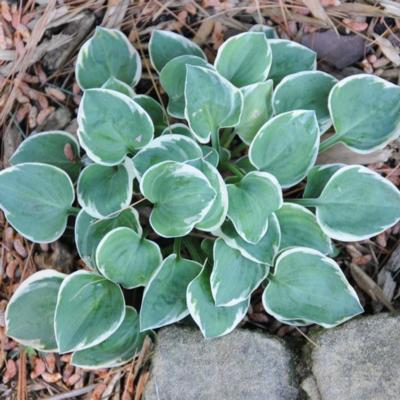 hosta-country-mouse