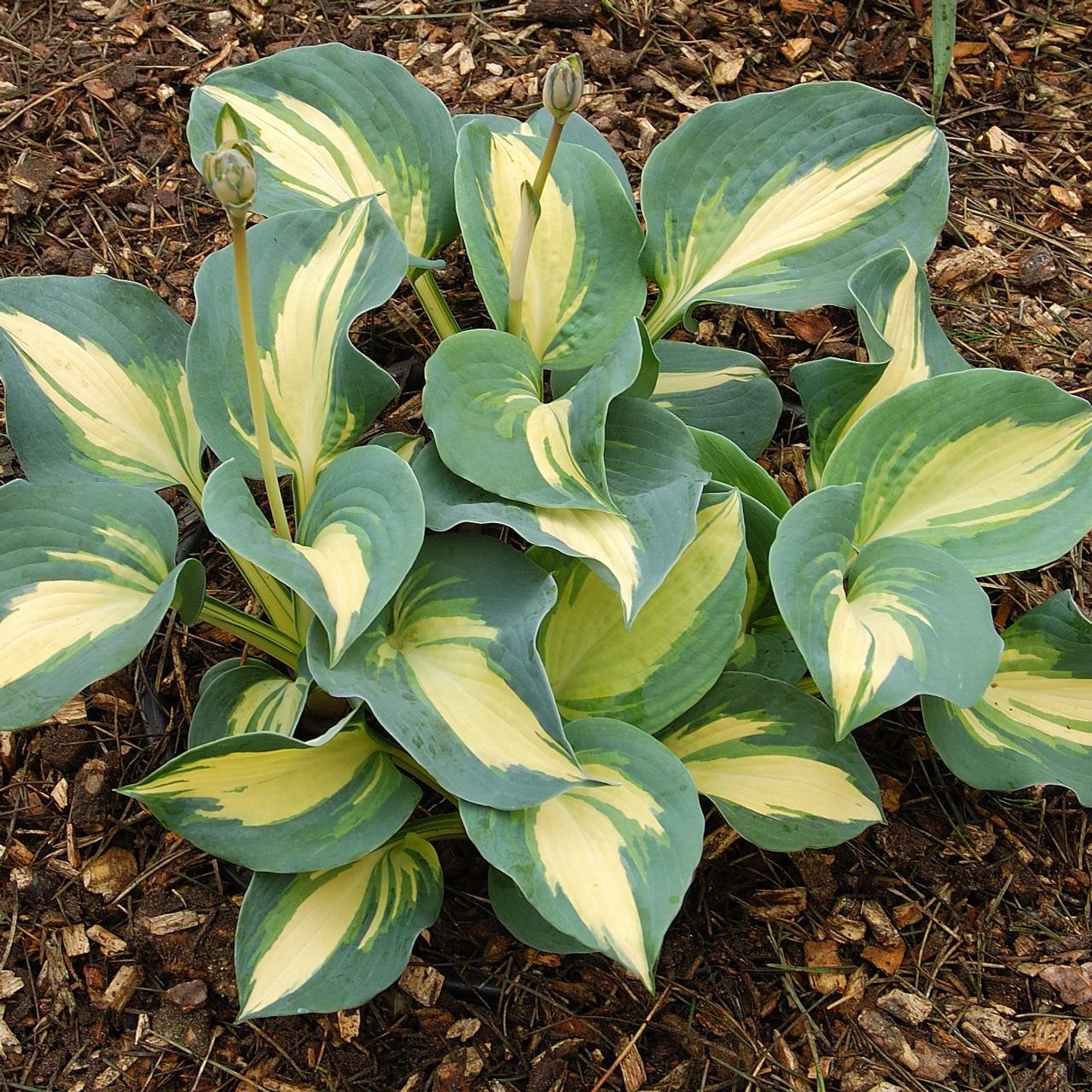 Hosta 'Dream Queen' plant