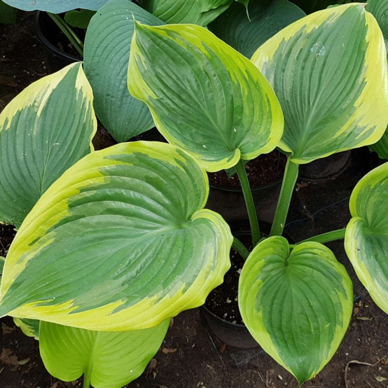 Hosta 'Final Victory' plant