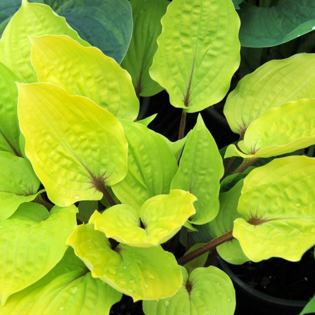 Hosta 'Fire Island' plant
