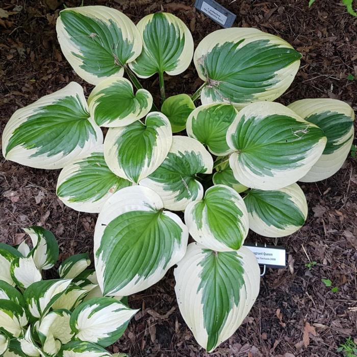 Hosta 'Fragrant Queen' plant