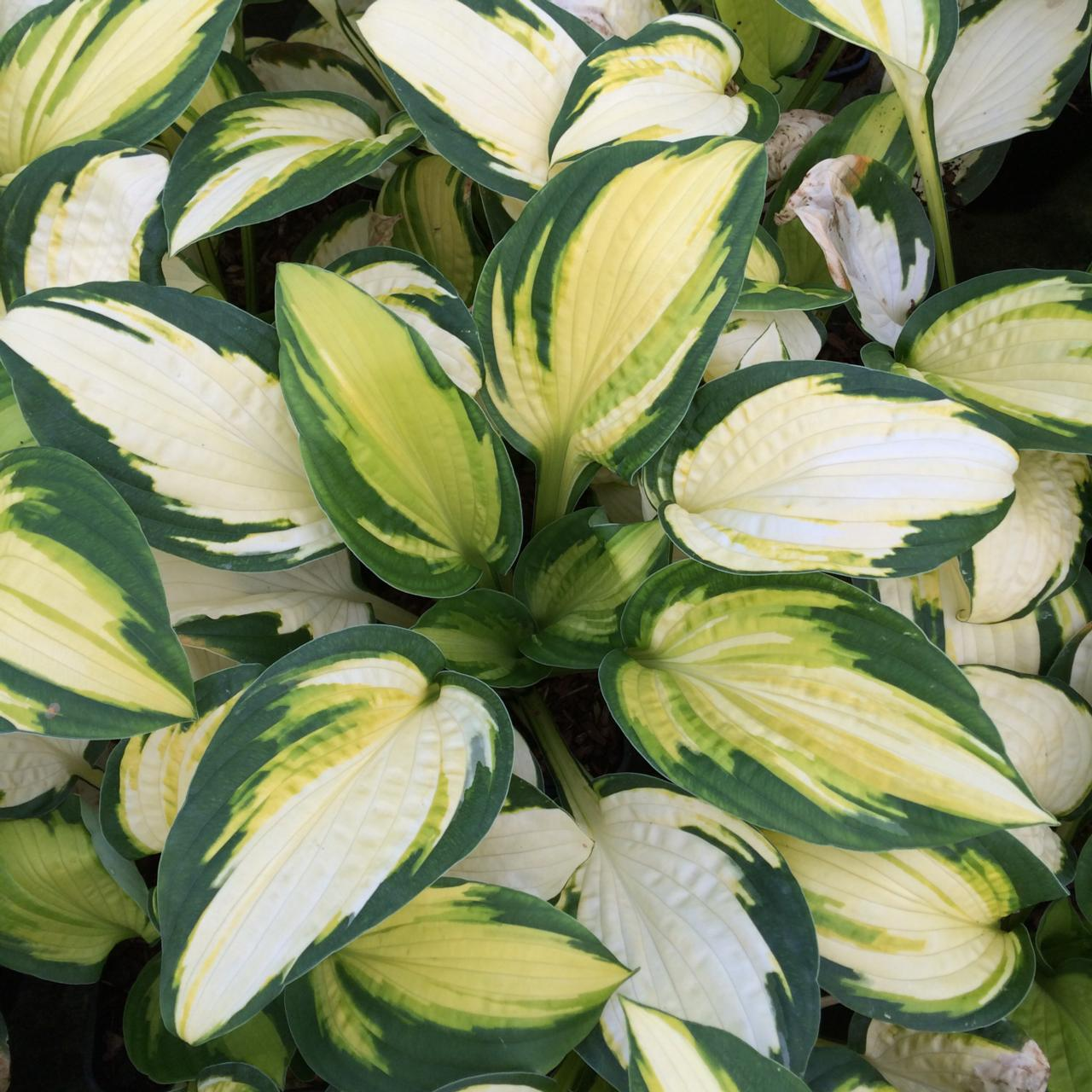 Hosta 'Georgia Sweetheart' plant