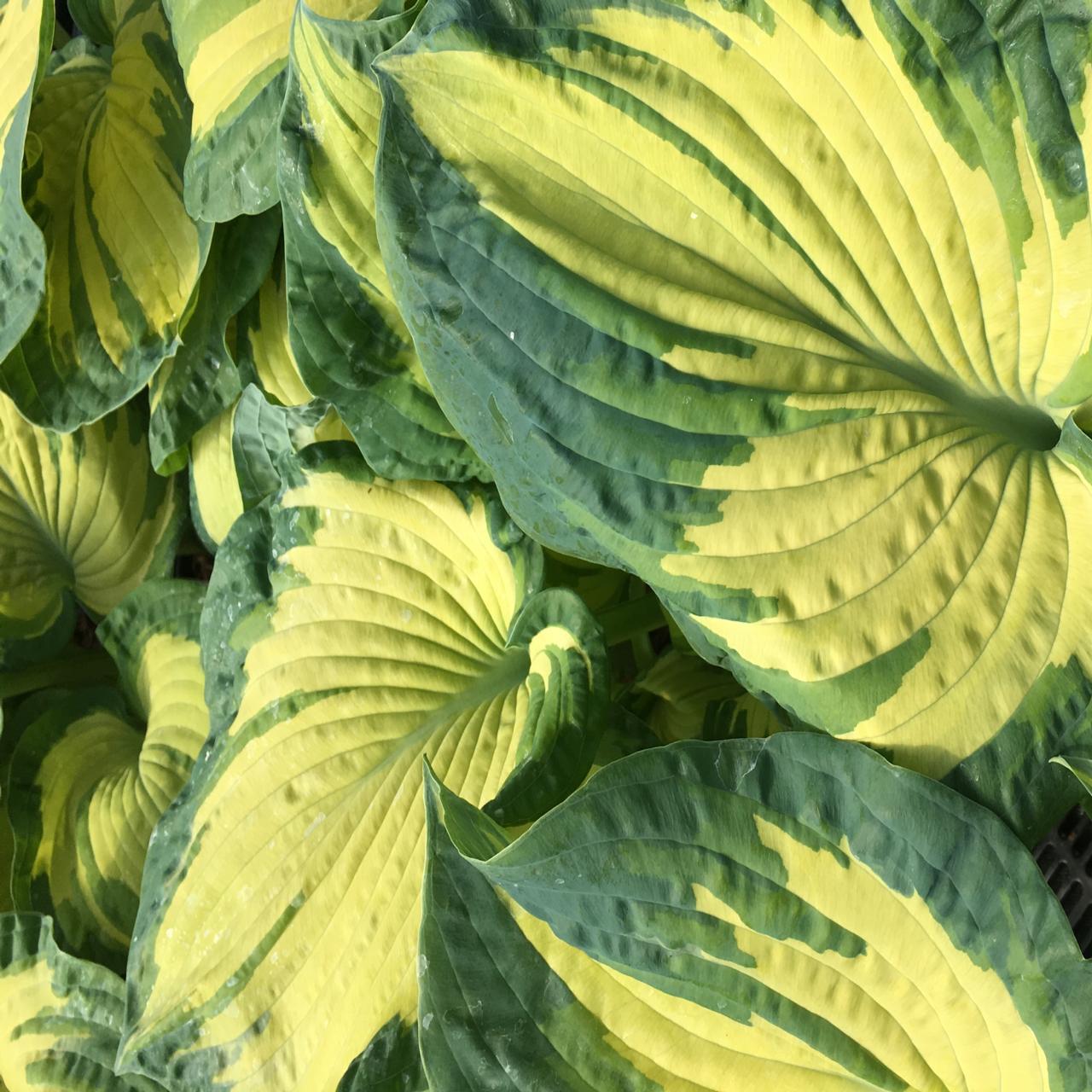 Hosta 'Golden Meadows' plant