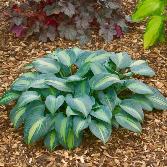 Hosta 'Grand Marquee' plant