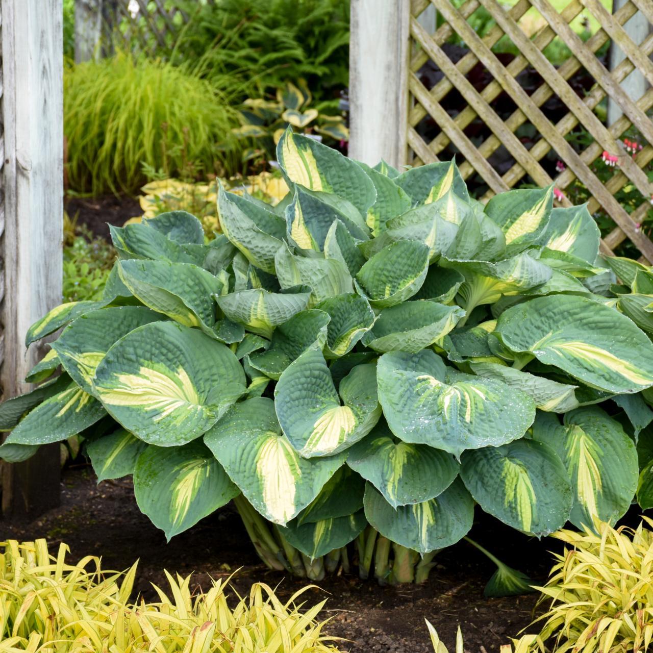 Hosta 'Hudson Bay' plant