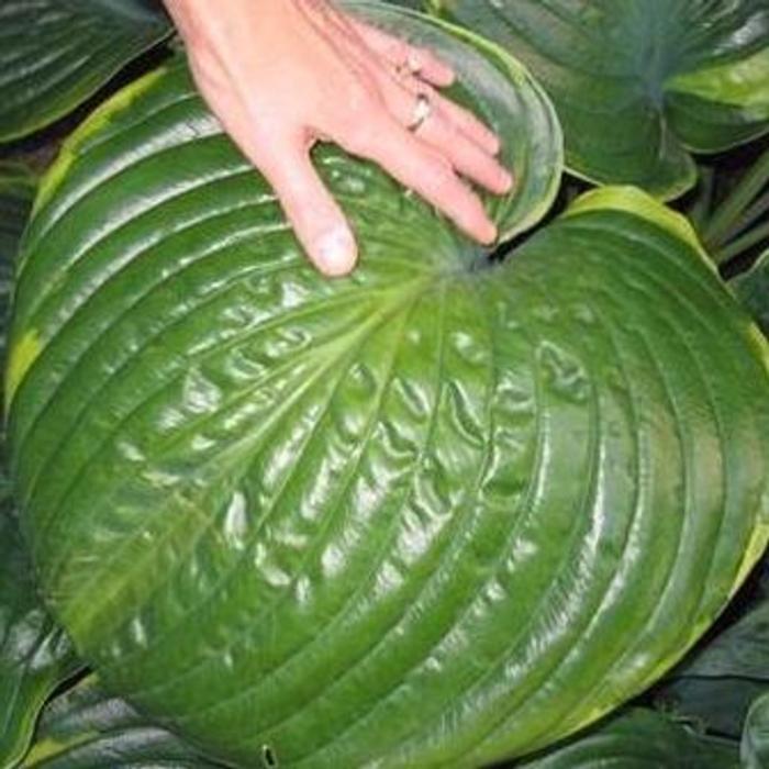 Hosta 'Lady Isobel Barnett' plant