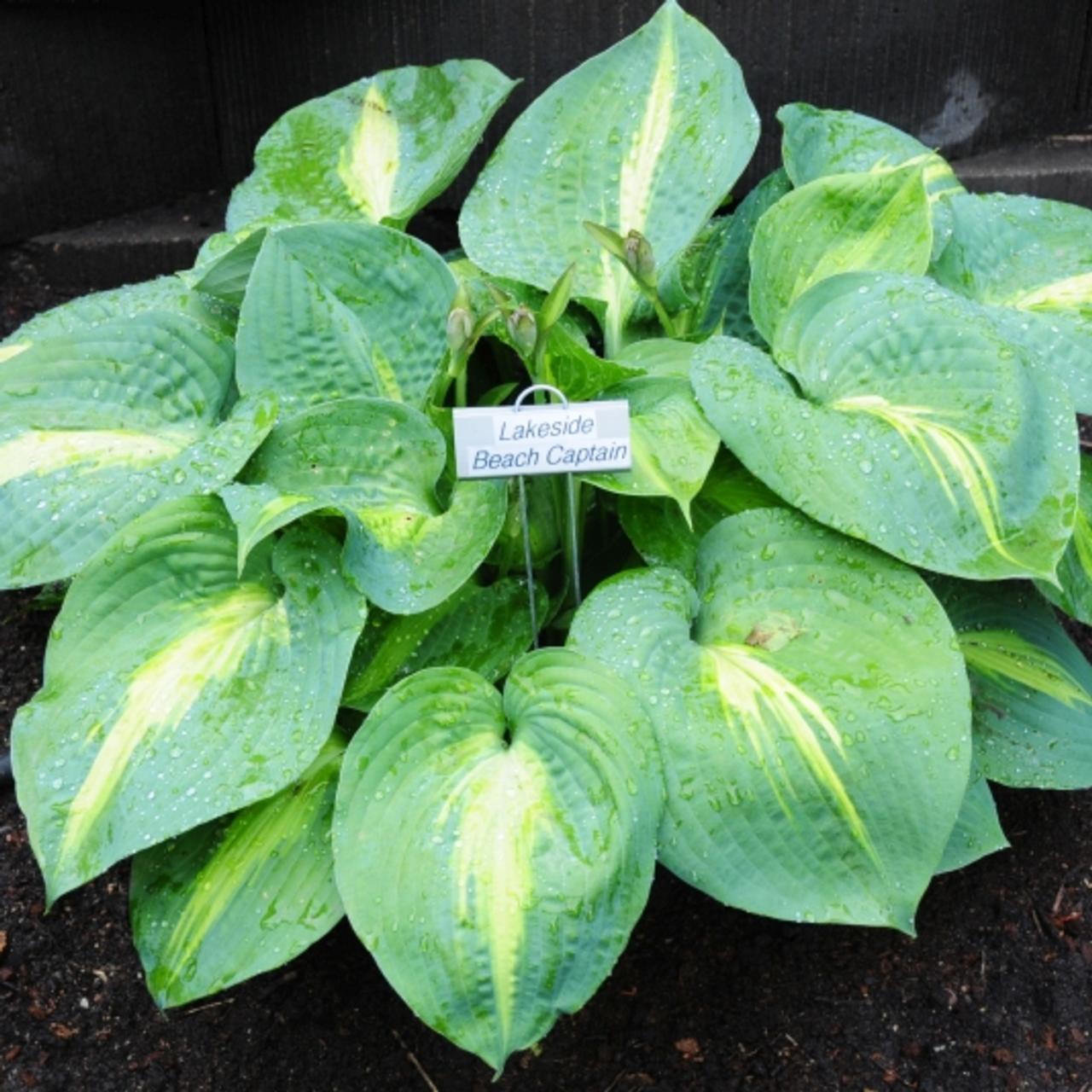 Hosta 'Lakeside Beach Captain' plant