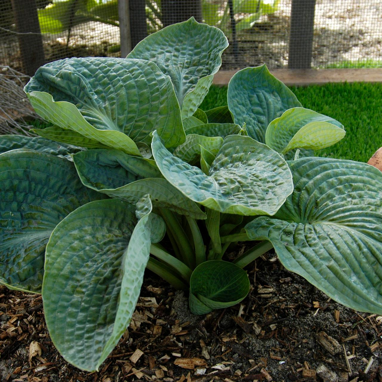 Hosta 'Lakeside Maverick' (33816)