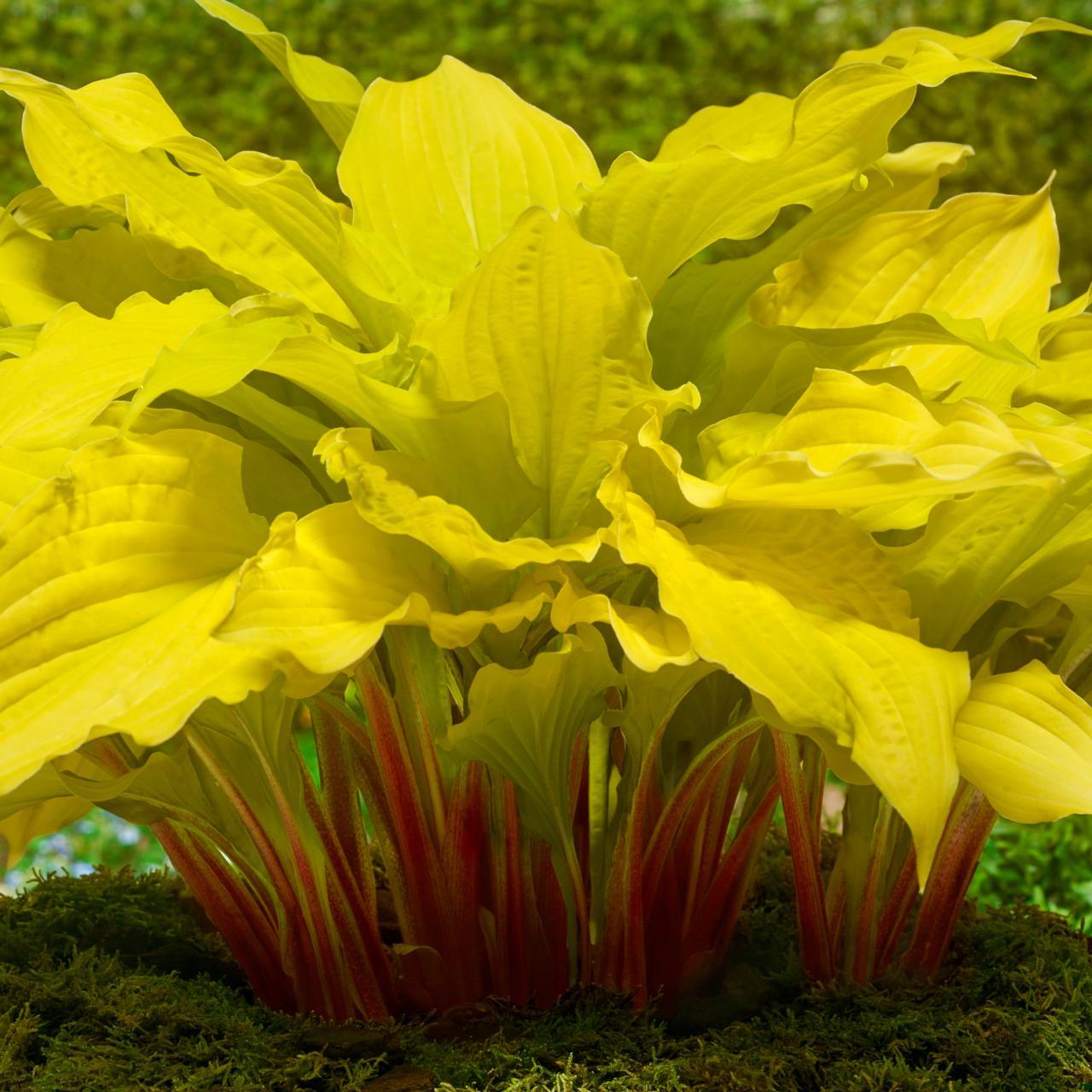 Hosta 'Lipstick Blonde' plant