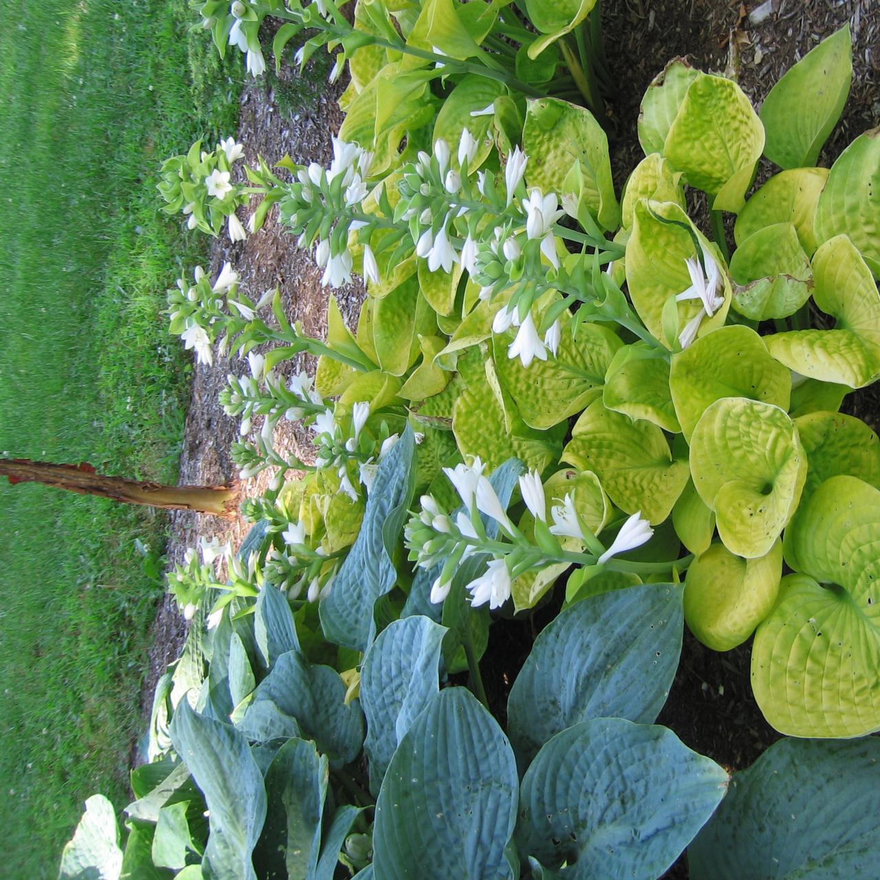 Hosta 'Maui Buttercups' plant
