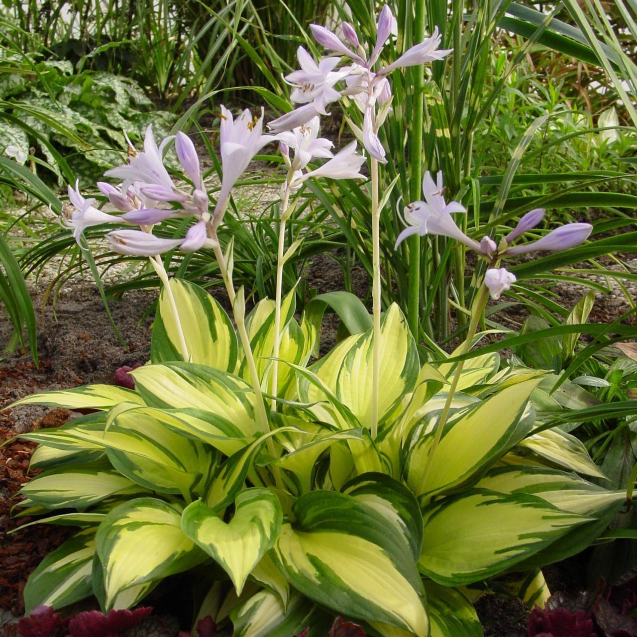 Hosta 'Morning Light' plant