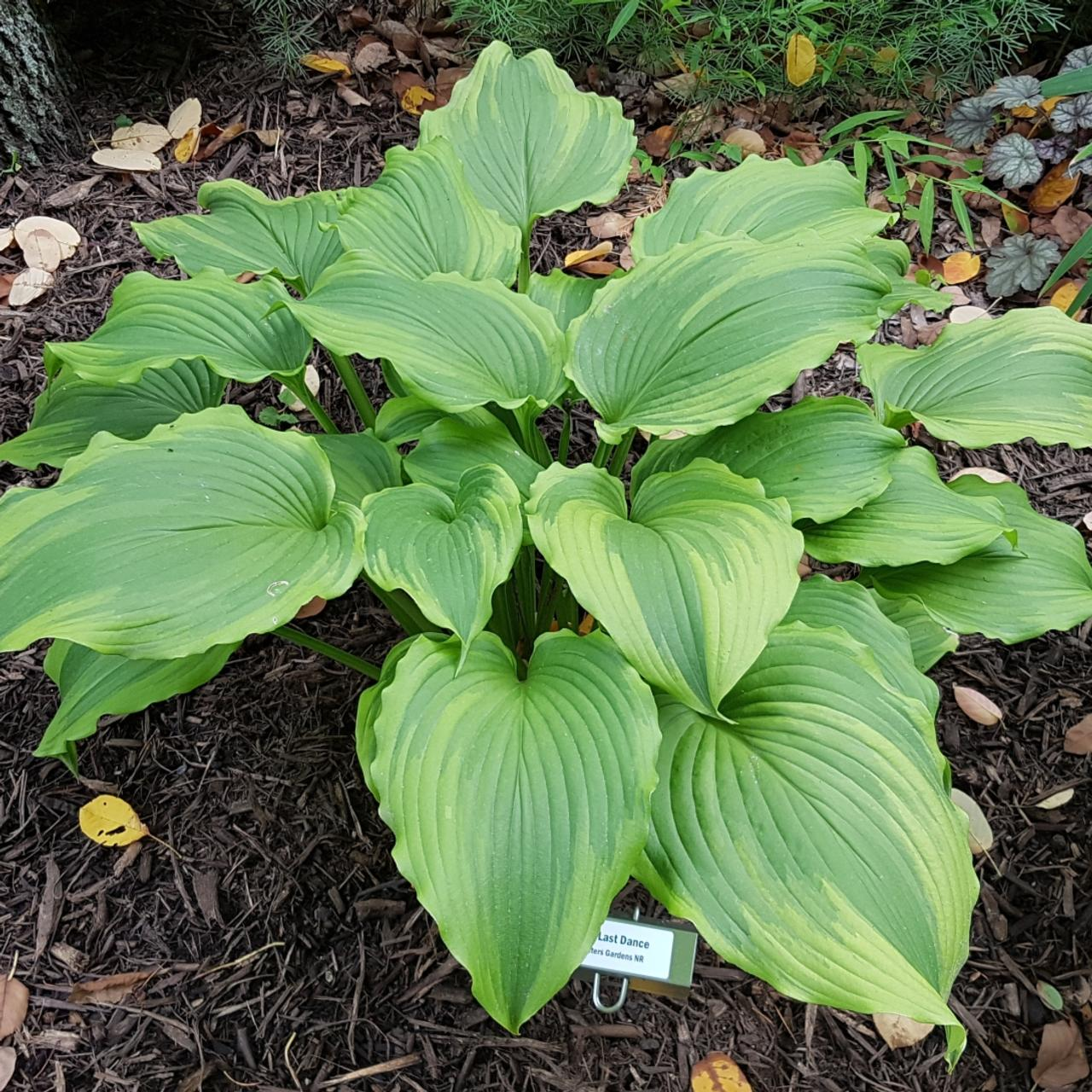 Hosta 'One Last Dance' (35823)