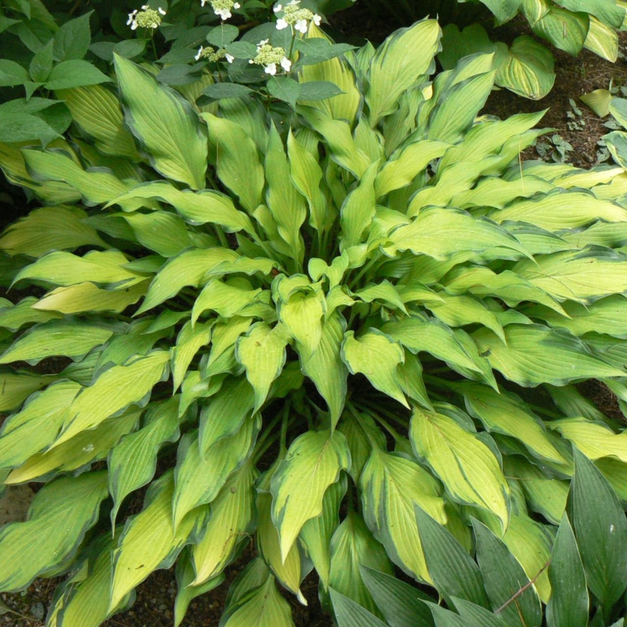 Hosta 'Pineapple Upsidedown Cake' plant