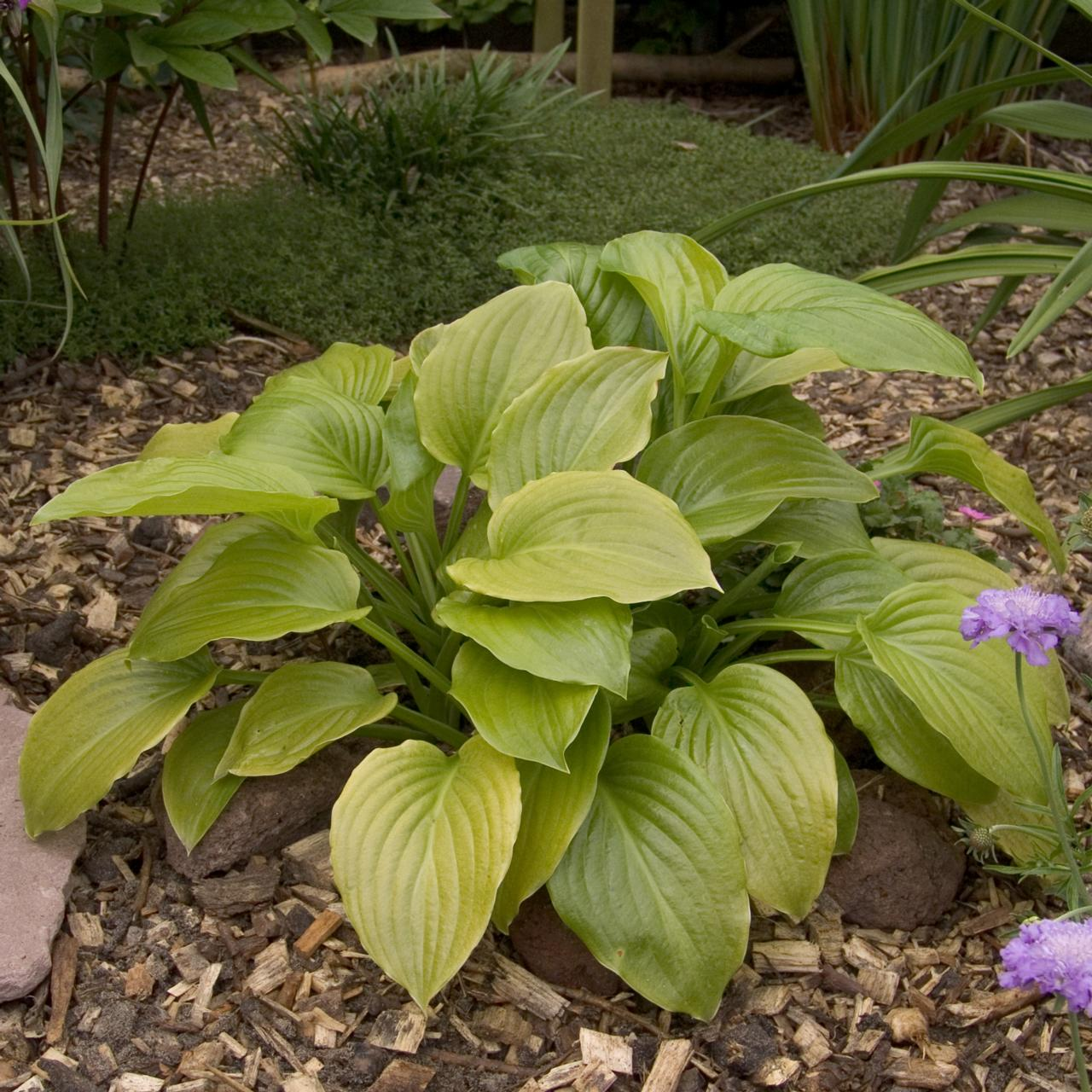 Hosta plantaginea 'Grandiflora' plant