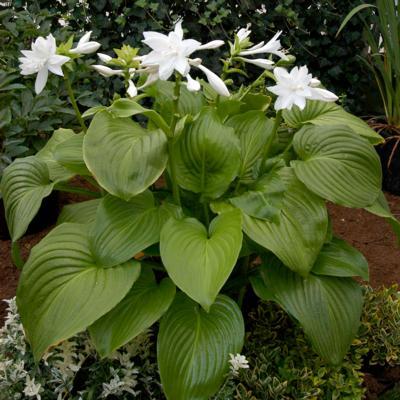 hosta-plantaginea-venus