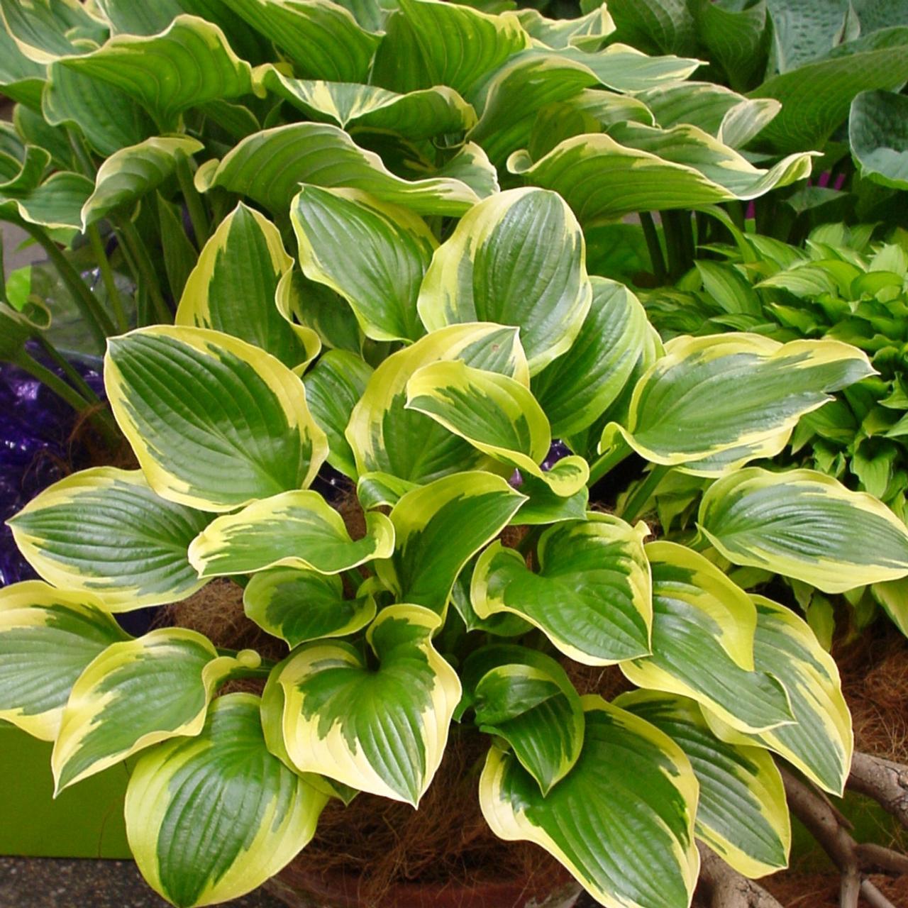 Hosta 'Queen Josephine' plant