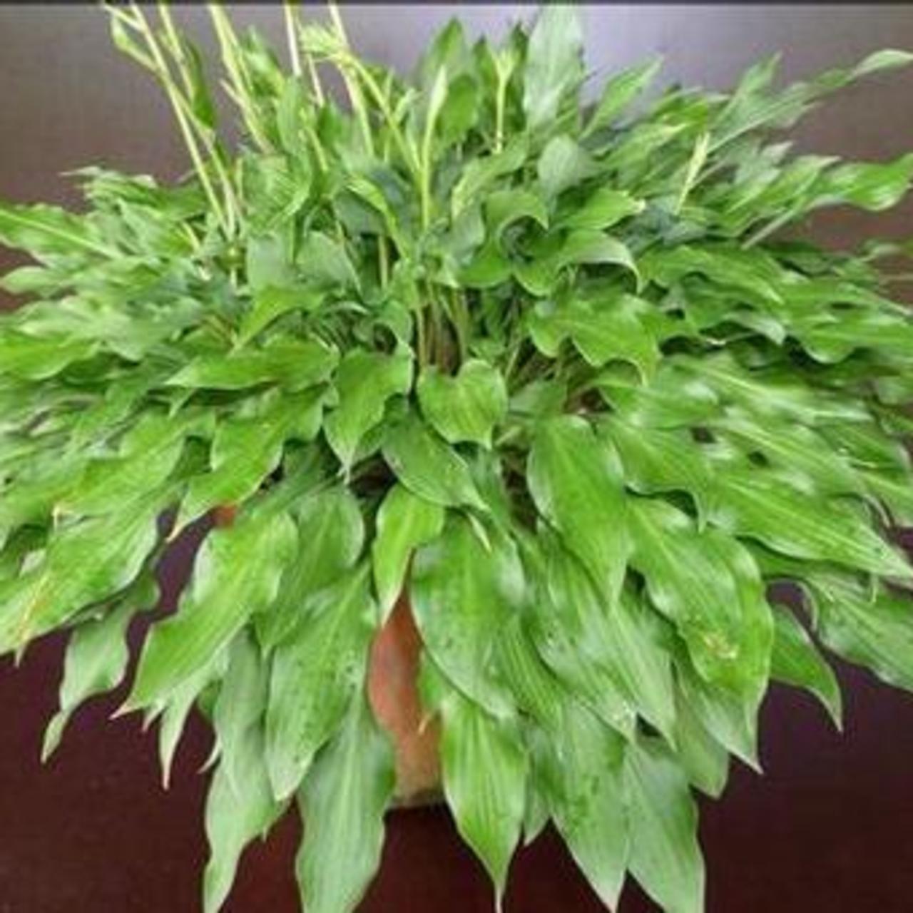 Hosta 'Quill' plant