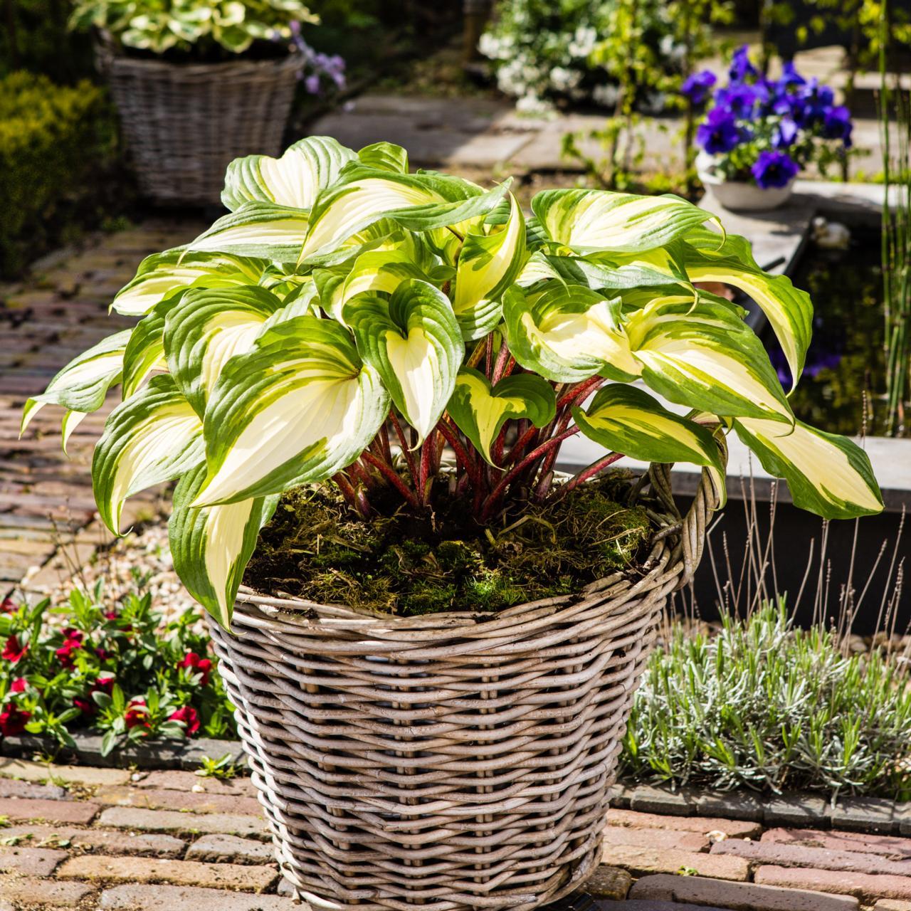 Hosta 'Raspberry Sundae' plant