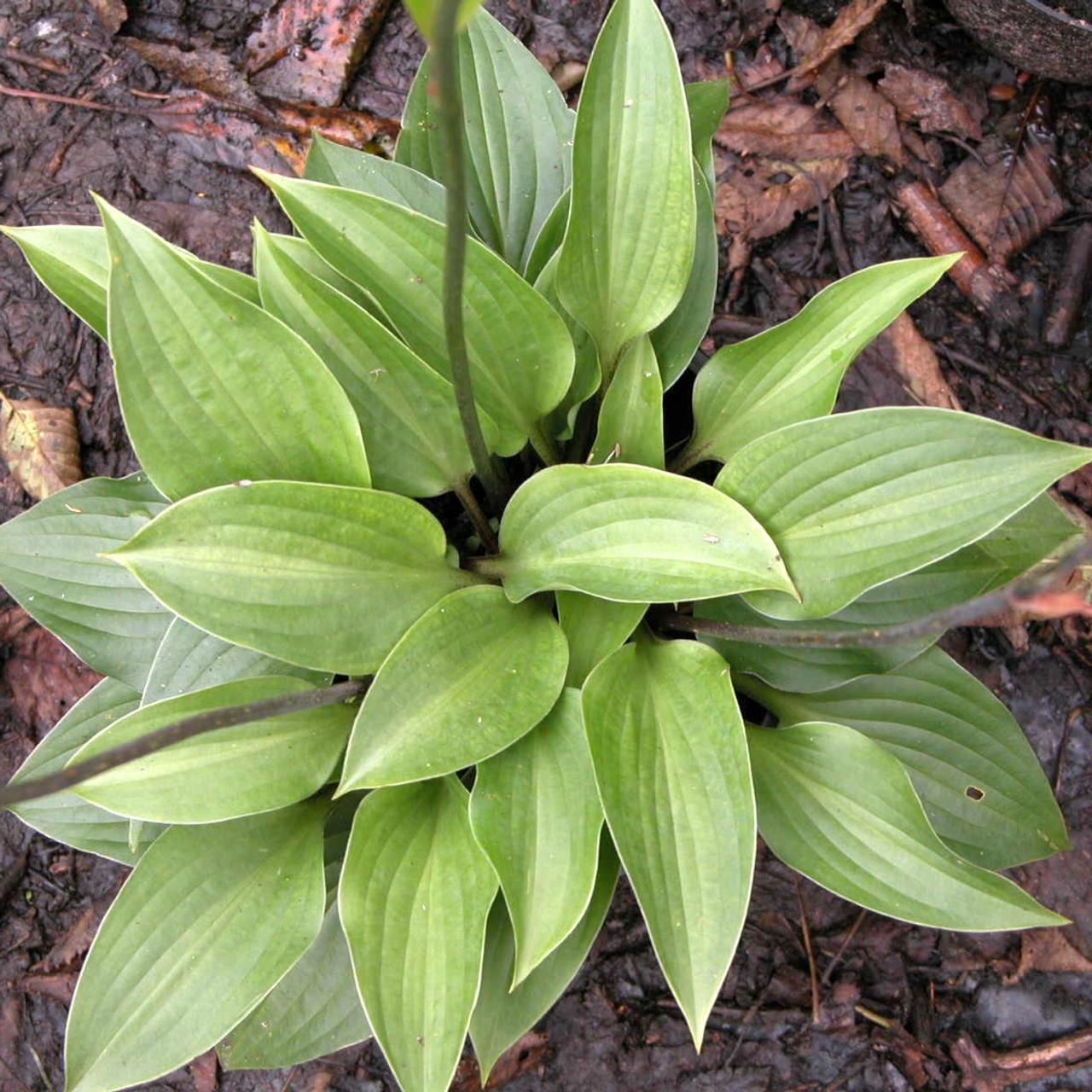 Hosta 'Red Cadet' plant