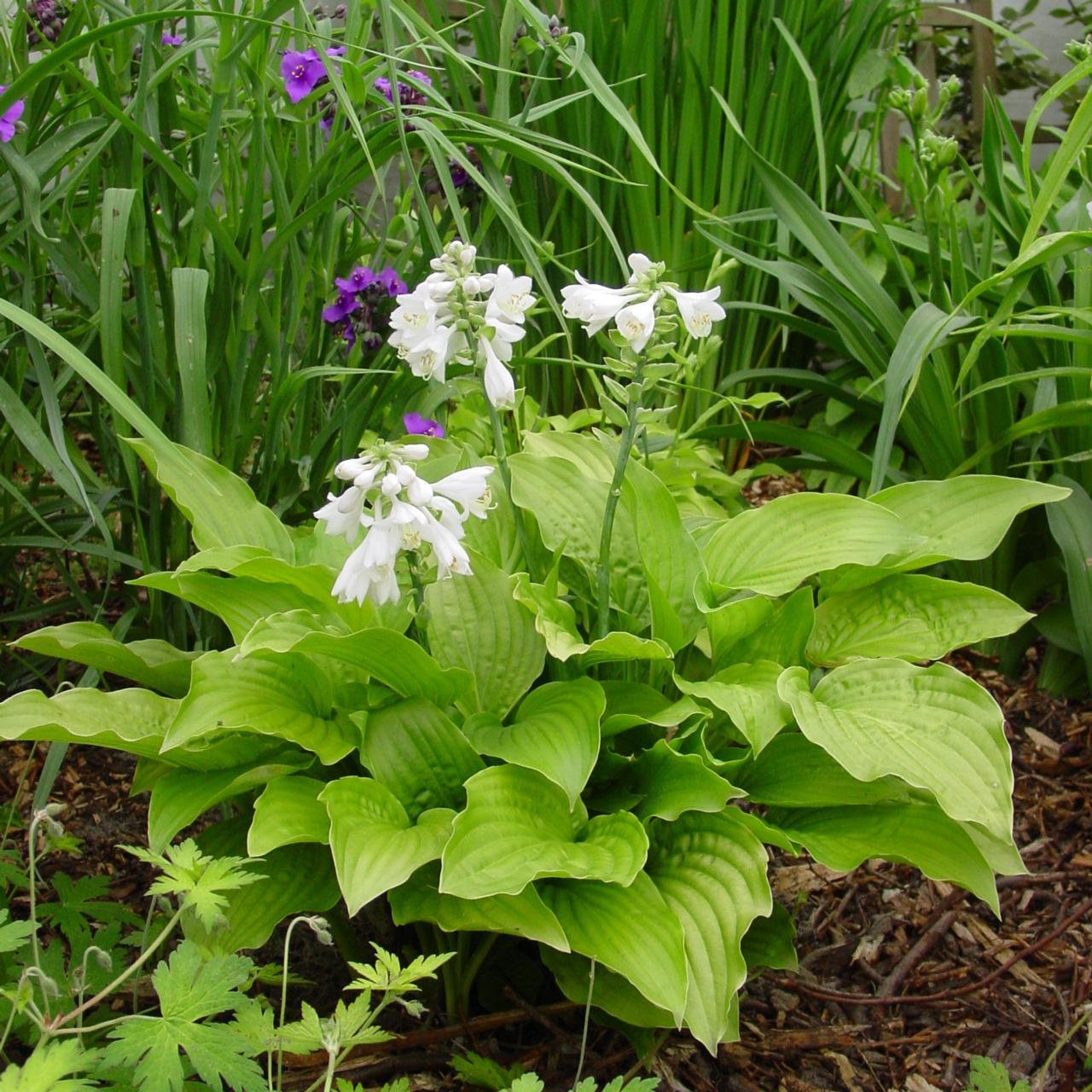 Hosta 'Royal Standard' plant