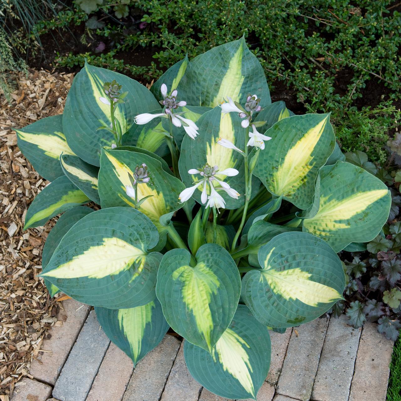 Hosta 'Saint Paul' plant