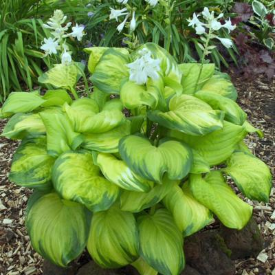 hosta-stained-glass