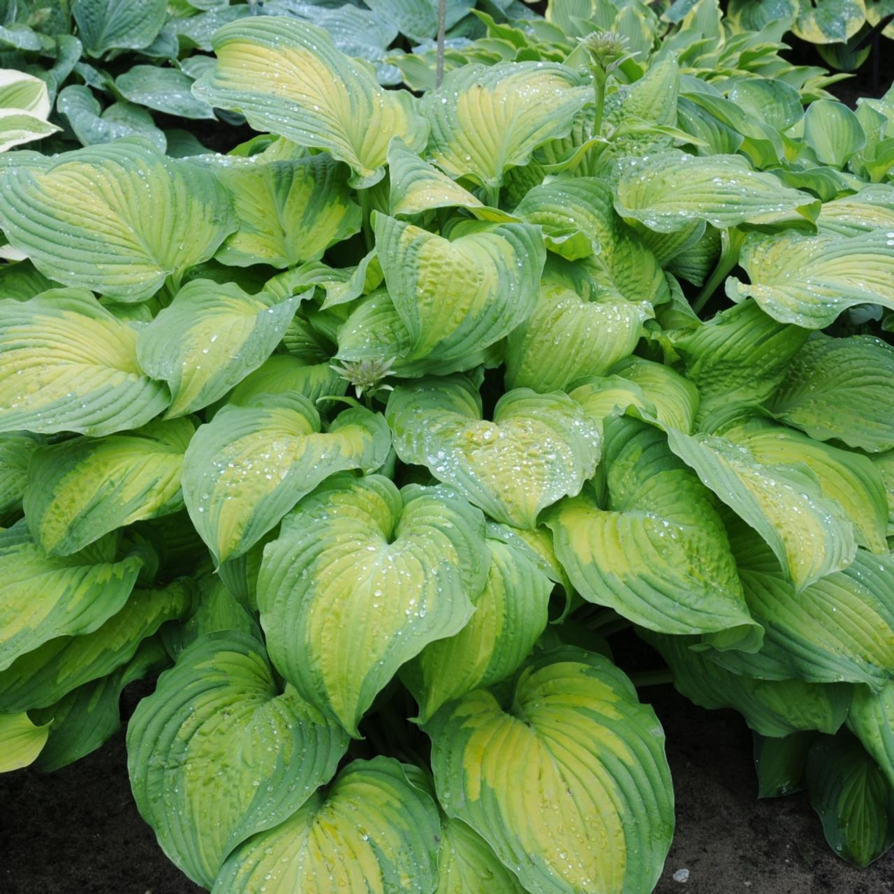 Hosta 'Summer Serenade' plant
