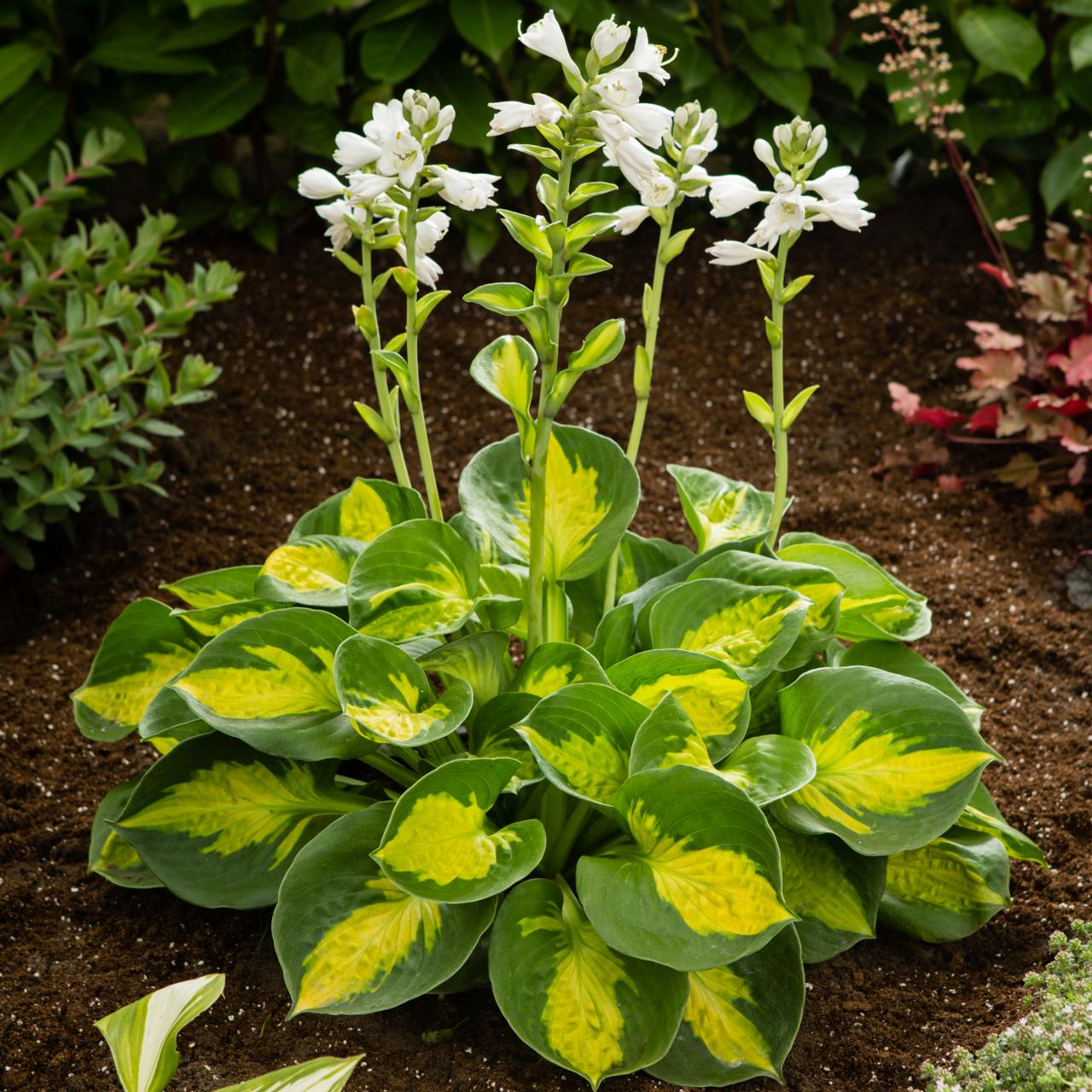 Hosta 'Sunset Grooves' (35827)