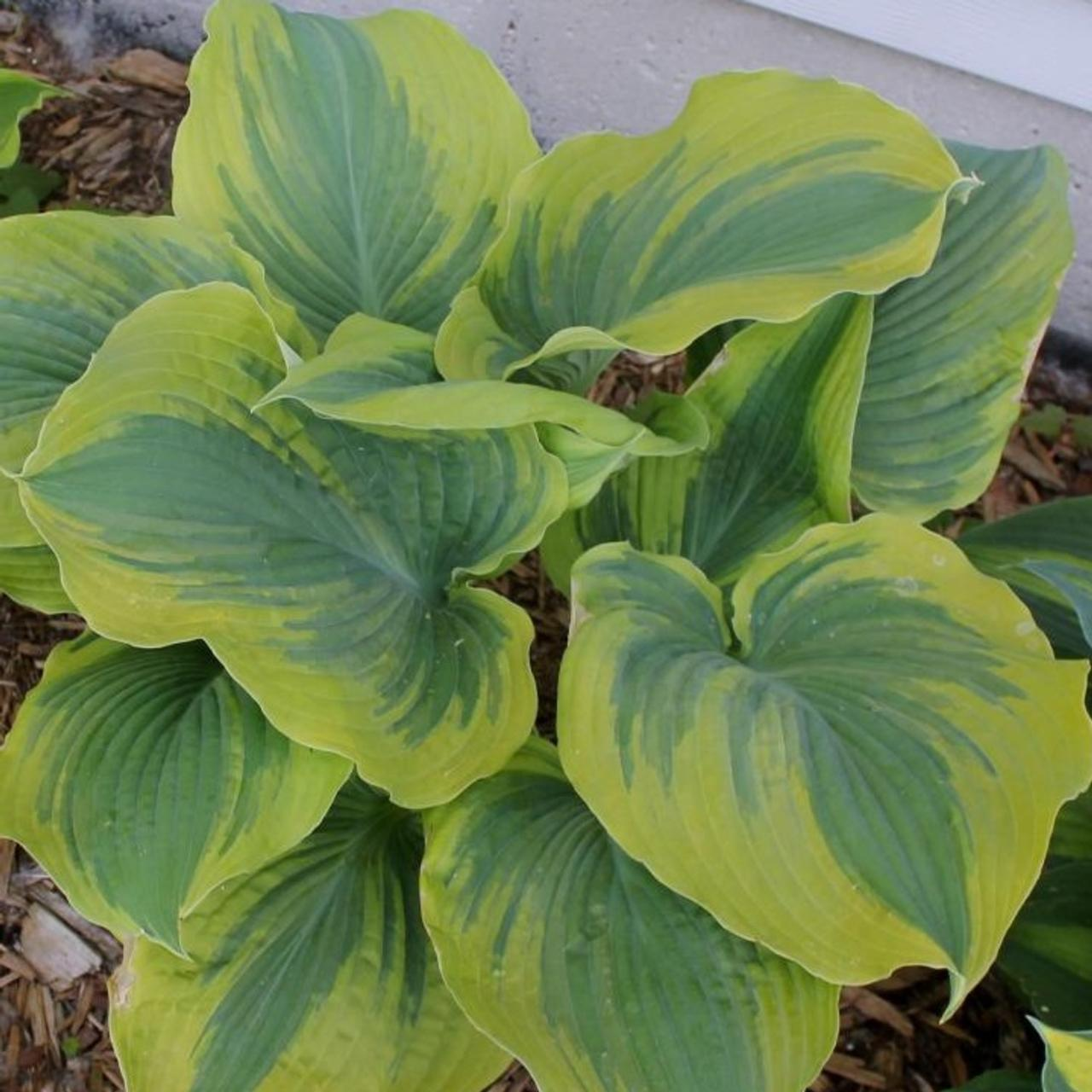 Hosta 'The King' plant