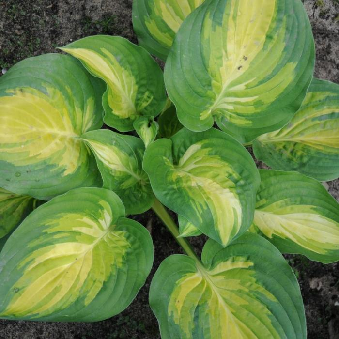 Hosta 'The Right One' plant