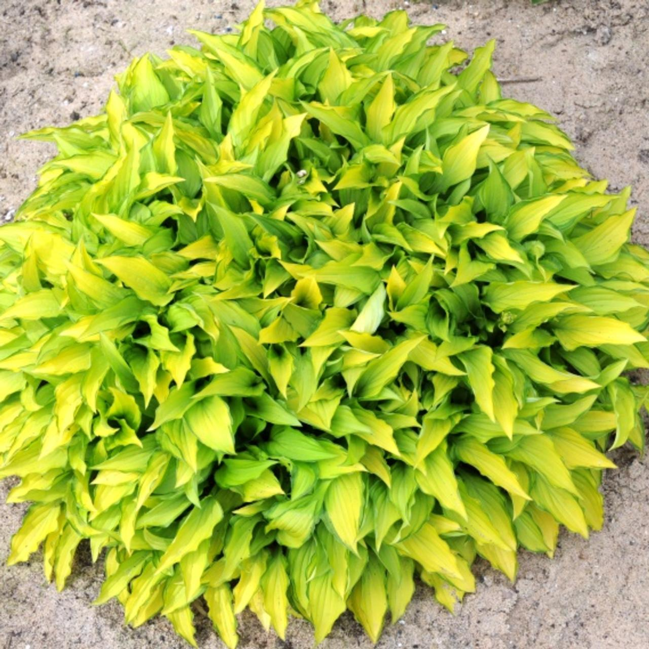 Hosta 'Twist of Lime' (32927)