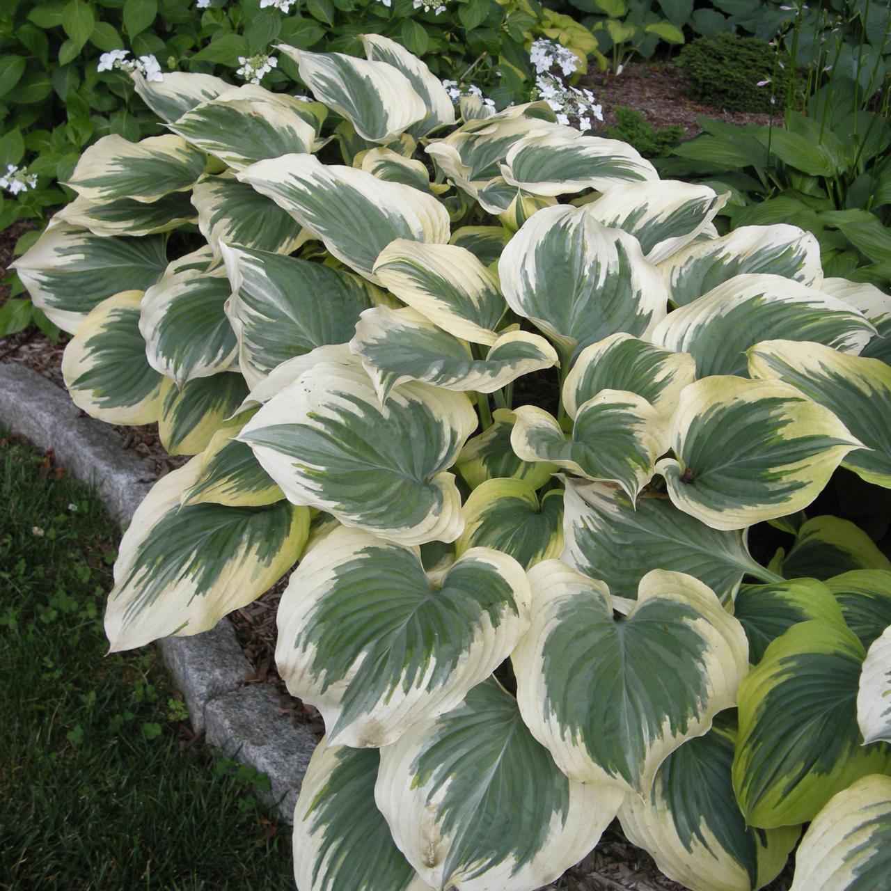 Hosta 'Victory' plant