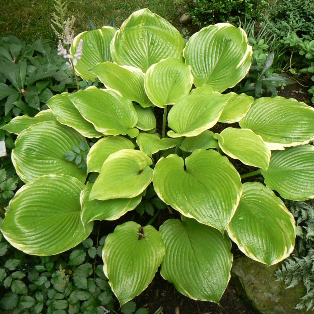 Hosta 'Winter Snow' plant