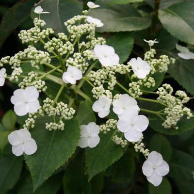 hydrangea-anomala-petiolaris-semiola