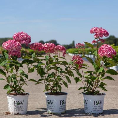hydrangea-arborescens-ruby-annabelle