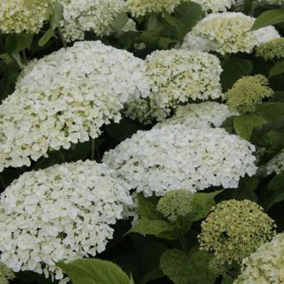 hydrangea-arborescens-strong-annabelle