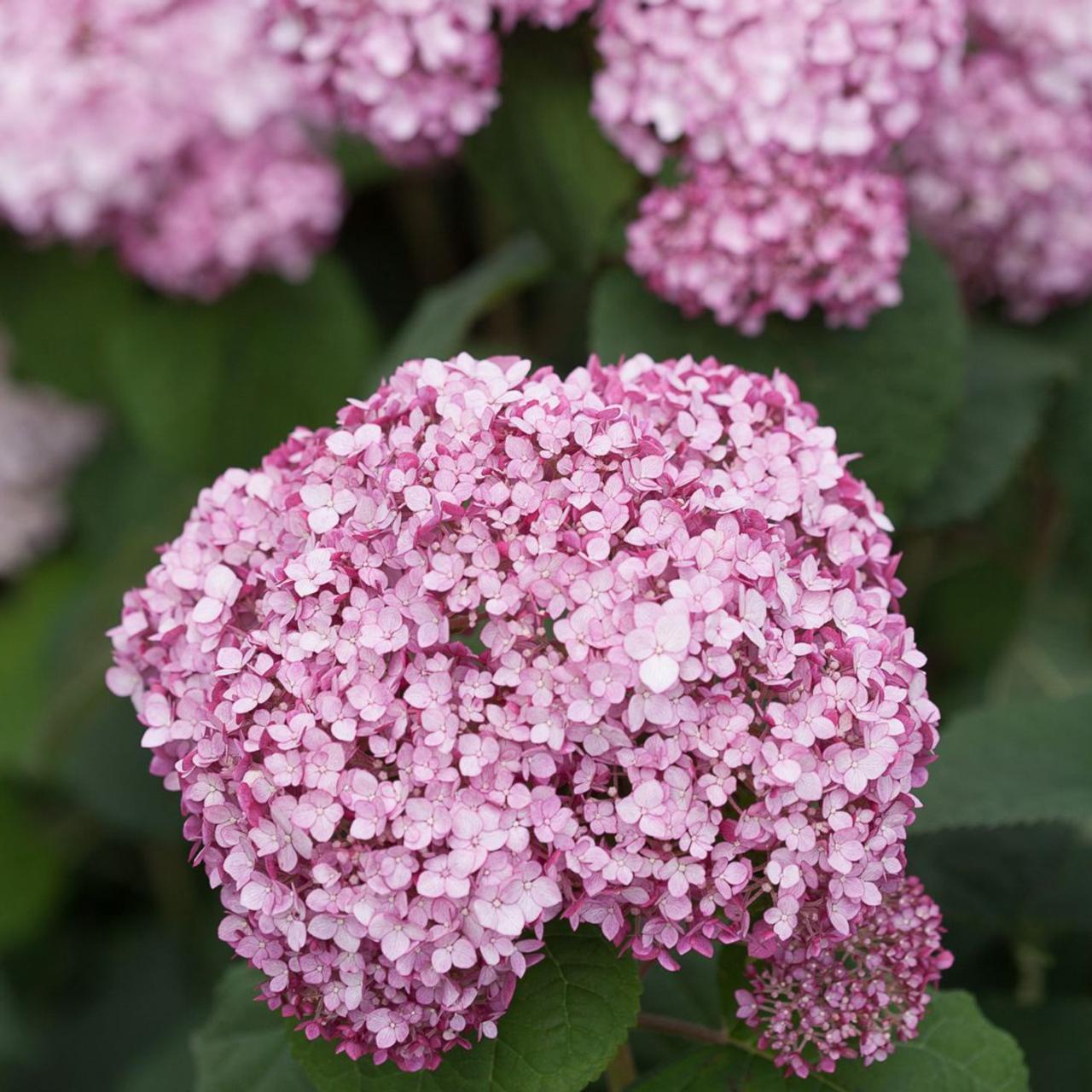 Hydrangea arborescens 'Sweet Annabelle' plant