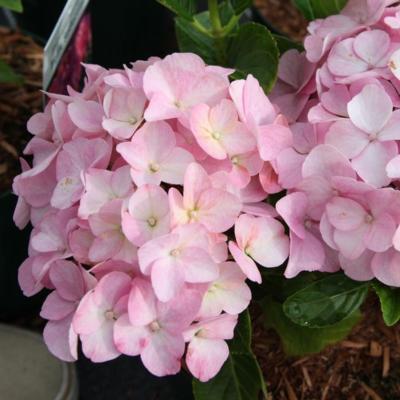 hydrangea-macrophylla-belle-seduction