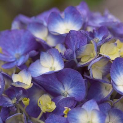 hydrangea-macrophylla-endless-summer-bloomstar