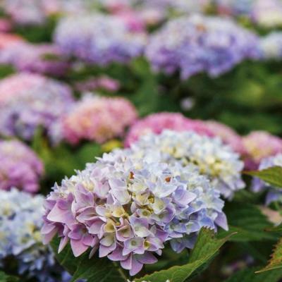 hydrangea-macrophylla-endless-summer-original