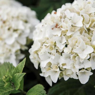 hydrangea-macrophylla-endless-summer-the-bride