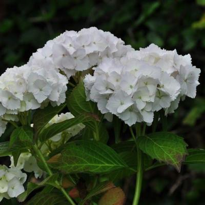 hydrangea-macrophylla-soeur-therese