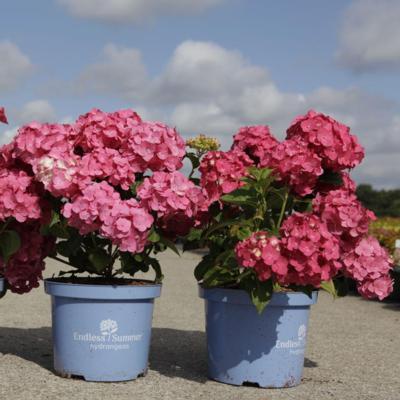 hydrangea-macrophylla-summer-love