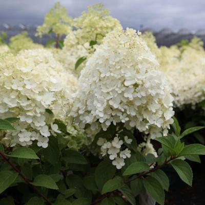 hydrangea-paniculata-bobo