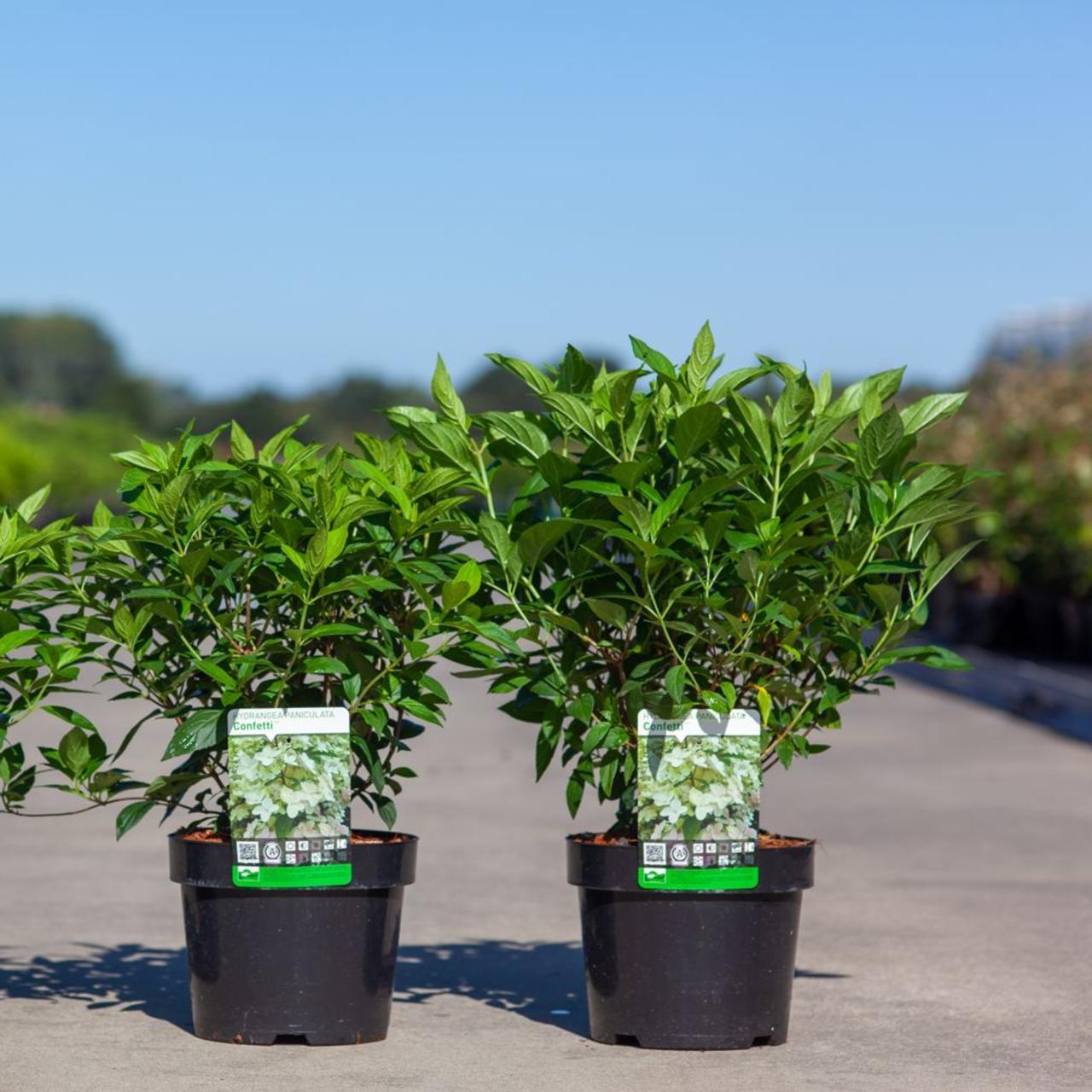 Hydrangea paniculata 'Confetti' plant