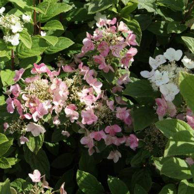 hydrangea-paniculata-darts-little-dot