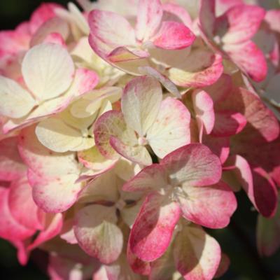 hydrangea-paniculata-diamant-rouge