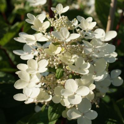 hydrangea-paniculata-early-sensation